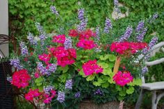 creeping jenny with geraniums | No small part of the fun of gardening is planning, putting it all ...