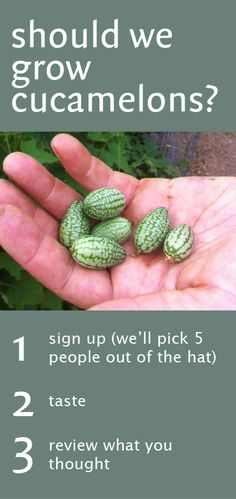 Should we grow cucamelons? We've got 5 packs for you to try & tell us what you think! See here: http://www.riverford.co.uk/experimental-veg