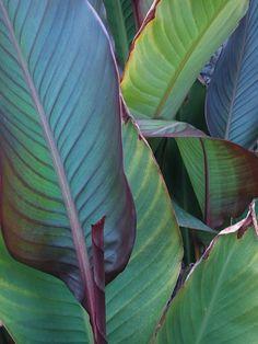 4db4f8ec6ad53fdcc0a271814cc8364d.jpg 600×800 pixels Canna leaves