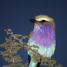 A lilac breasted Roller - maybe that is what the other two birds are - don't know. Kinds Of Birds, All Birds, Little Birds, Love Birds, Pretty Birds, Beautiful Birds, Animals Beautiful, Cute Animals, Exotic Birds