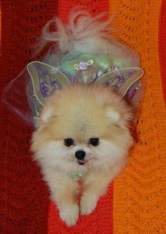 Pomeranian in a tutu!!