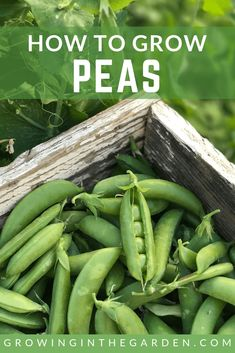Peas are easy to grow in your garden and provide a high yield in a small growing area. Read more about peas - planting, growing and harvesting peas. Starting A Vegetable Garden, Home Vegetable Garden, Planting Vegetables, Growing Vegetables, Organic Gardening, Gardening Tips, Container Gardening, Gardening Services, Gardening Books