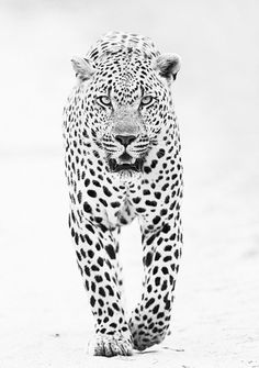 black and white jaguar photo Nature Animals, Animals And Pets, Cute Animals, Wild Animals, Animals Images, Beautiful Cats, Animals Beautiful, Simply Beautiful, Wildlife Photography