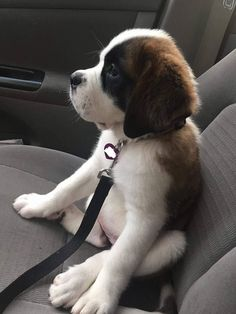 Maggie Mae contemplates life as a good girl. Super Cute Puppies, Cute Little Puppies, Cute Little Animals, Dogs And Puppies, Doggies, Chien Saint Bernard, St Bernard Puppy, Cute Dogs Breeds, Dog Breeds