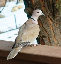 Photo detail The Eurasian Collared-Dove is being seen more often in the Southwest. Yellow Lab Names, List Of Birds, Dove Pigeon, Common Birds, Mourning Dove, Backyard Birds, Colorful Birds, Bird Species