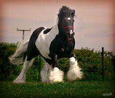 Gypsy/Tinker - Tom Price Stallion - The Diplomat