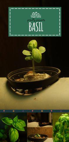 Co mogę uprawiać hydroponicznie? - Prawie wszystko!  Bazylia w hydroponice rośnie naprawdę w tempie kosmicznym:D #Bazylia #ZiołaWDomu #Zioła #Herbs #ŚwiatZiół #Basil #Hydroponics #MyOwnHerbs