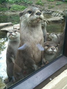 Otters Know Their Habitat and Are Curious About Hooman's Habitat! — The Daily Otter Otters Cute, Baby Otters, Baby Sloth, Animals And Pets, Baby Animals, Cute Animals, Otter Love, Power Animal, Sea Otter