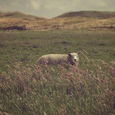 Texel = Sheep #europe #thenetherlands #netherlands #holland #texel #dutchlandscape #dutch #landscape #nature #sheep #dunes #hiking #animal #animallovers #countryside #vacation #uwn_holland
