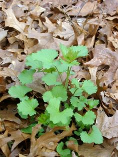 Garlic mustard (close-up) just before bloom...a very bad invasive species.