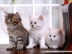 Persian Cat | 38pics] Adorable Persian Kittens and Persian Cat Wallpapers 1024*768 ...