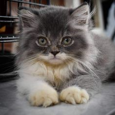Raining Cats And Dogs, Cute Cats And Kittens, Baby Cats, Kittens Cutest, Beautiful Kittens, Pretty Cats, Animals Beautiful, Image Chat, Kittens And Puppies