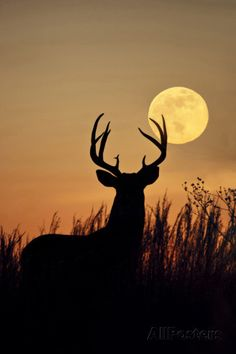White-Tailed Deer (Odocoileus Virginianus) at Harvest Moon, Texas, USA Photographie par Larry Ditto sur AllPosters.fr