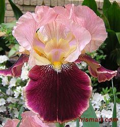 #Burgundy #Party Tall Bearded #Iris    http://www.roanokemyhomesweethome.com