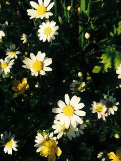 Daisies ❊❊❊ #daydream #bohemian #flower #adventure #daisy #love