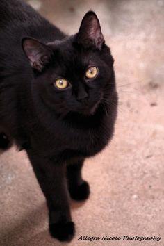 Black cat   ADOPT