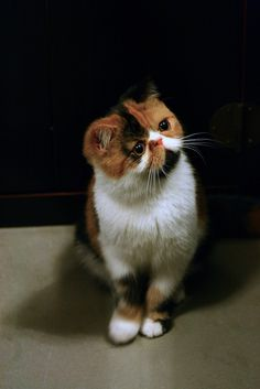hello i aM Miki (by thEmadTpARty), Exotic Shorthair