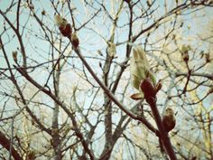 Chestnut tree buds in April