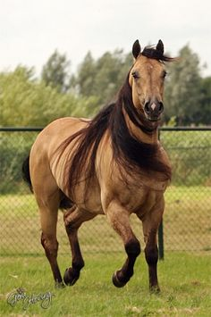 Quarter horse beauty.....God knows I LOVE a buckskin horse!!! That mane is amazing