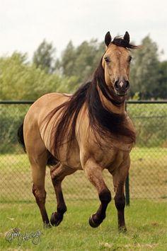 Quarter horse beauty.....God knows I LOVE a buckskin horse!!! That mane is amazing