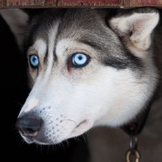 Nobody Puts Blaze the Husky into His Kennel