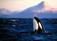 North of Norway in winter, the Orca's