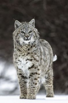 A Beautiful Lynx. Visit us: https://ecolo-luca.com