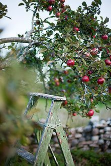 Fall apple picking time I want all kinds of fruit trees on the Farm Country Farm, Country Life, Country Living, Apple Farm, Apple Orchard, Apple Tree, Red Apple, Illustration Photo, Down On The Farm