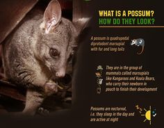 Possums can be dangerous. It is important for you to know about these small, sweet marsupials and how to keep them at bay if your property is threatened by them.