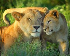 Africa |  Lion with her cub. Ndutu Safari Lodge, Serengeti, Tanzania |  © Billy Dobson
