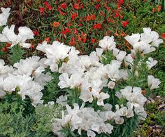 "Clarkia amoena 'Memoria' ""Farewell to Spring"" Meadow Garden, Paradise Garden, Moon Garden, Bright Flowers, Cut Flowers, White Flowers, Easy Plants To Grow, California Native Plants, Mediterranean Garden"