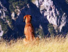 Родезийский риджбек (фото): ловкий охотник и смелый сторож