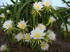 Hylocereus undatus is a sprawling or vining, terrestrial or epiphytic cactus... #hylocereus #succulentopedia #cactus #CactiAndSucculents #WorldOfSucculents #cacti #CactusLove #SucculentPlant #SucculentPlants #cactusmania #CactusLover #CactusObsession #CactusCollection #plant #plants #CactusGarden #garden #DesertPlants #nature #blooming #BloomingCactus #flower #flowers #CactusFlower #CactusFlowers