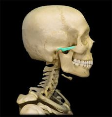 Slides quizing you on all the bones and bone features of the axial skeleton you are required to know using pictures from Anatomy & Physiology Revealed Skeleton Anatomy, Skeleton Bones, Axial Skeleton, Body Bones, Skeletal System, Anatomy And Physiology, Nursing, Lab, Arch