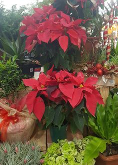 Poinsettia is a plant that was once considered to be very poisonous. But it's very pretty Christmas flower. #flower #containergarden