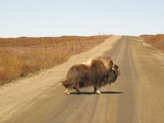 Battles between bull muskoxen during the rut are spectacular and violent contests