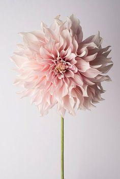 Pink Dahlia by GeorgiannaLane #Photography #Flowers #Dahlia
