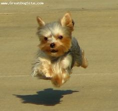 Yorkie on a mission. ha! looks like my Lily!