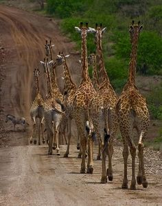 Its so rare when you see so many giraffes like this together. I love the one running in the very front! So great!