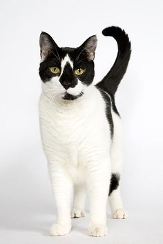 Prince is a 9 yr. old male DSH who is available at City Critters Inc. New York, New York.
