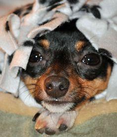 I <3 Toy Fox Terrier's