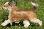 chinese crested dog photo