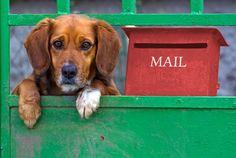 Sad beagle-like small dog behing the gate Poster Beagle, Small Dogs, Gate, Labrador Retriever, Poster, Animals, Products, Labrador Retrievers, Animales