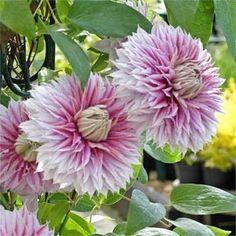 Clématite 'Josephine®' Clematis Plants, Clematis Flower, Clematis Vine, Garden Plants, All Flowers, Types Of Flowers, Exotic Flowers, Beautiful Flowers, Climbing Vines