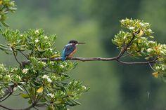 Flower and Kingfisher (Pittosporum tobira) by Mubi.A