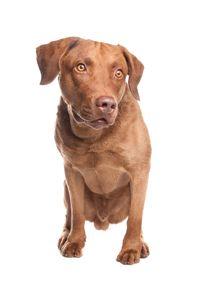 american bulldog lab mix Labrador Mix Puppies For Sale