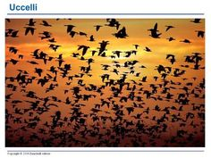 Copyright © 2006 Zanichelli editore Uccelli. Copyright © 2006 Zanichelli editore Uccelli (Aves) Animali bipedi, omeotermi (temperatura costante di circa.