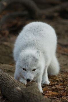 Beautiful, inspirational and creative images from Piccsy. Thousands of Piccs from all our streams, for you to browse, enjoy and share with a friend. Baby Arctic Fox, Fabulous Fox, My Spirit Animal, Red Fox, Big Cats, Beautiful Birds, Amazing Places, Rabbits, Polar Bear