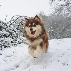 Infindigo Raita Susikoira - Logan Logan, Husky, Puppies, Animals, Animaux, Animal, Animales, Husky Dog, Puppys