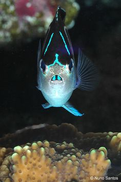 Bellus Angelfish (female). lol cute little bucked tooth fish